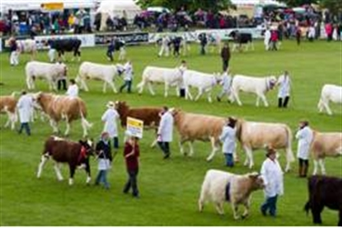 An array of cows with their handlers parading the area to be judged at the show