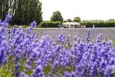 Castle Farm: Home of Kentish Lavender