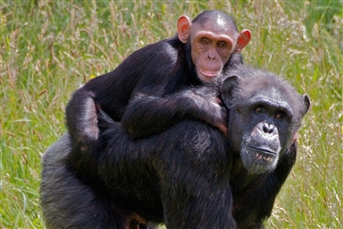 baby chimpanzee piggy-backing on an full grown chimpanzee