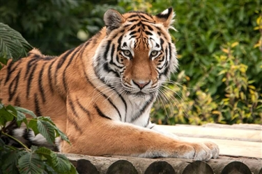 Image of a tiger at Paradise Wildlife Park in Broxbourne, Hertforshire