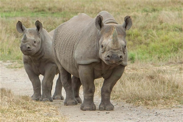 Image of two rhinocerous, one just behind the other, both looking at the camera